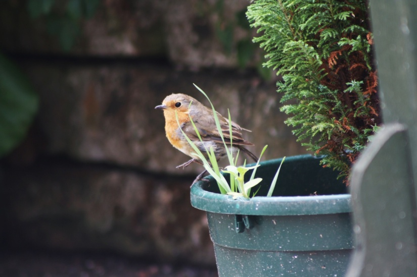 A resident robin taking advantage of the bird table - cpt Jasmine Walters