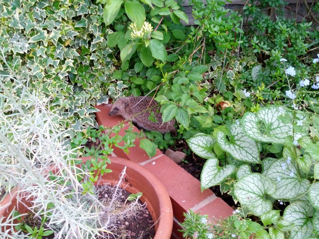 3rd June - hedgehog snuffling its way through the garden - copyright School Gate Sue 2015
