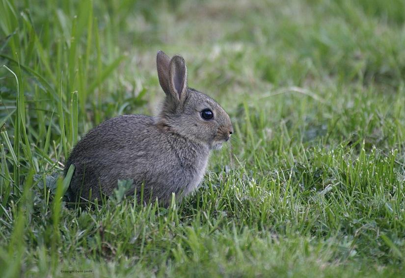 Rabbit Copyright Darin Smith